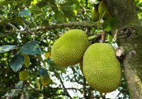 map-jackfruit