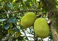map-jackfruit