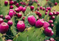 map-prickly-pear